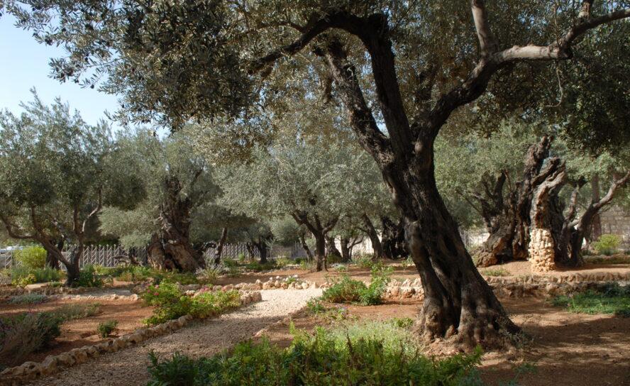 Вера вБога подобна оливковому дереву